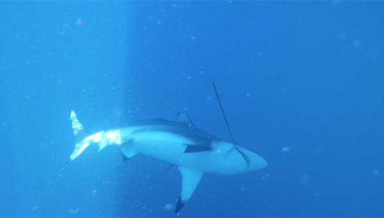 Beau requin